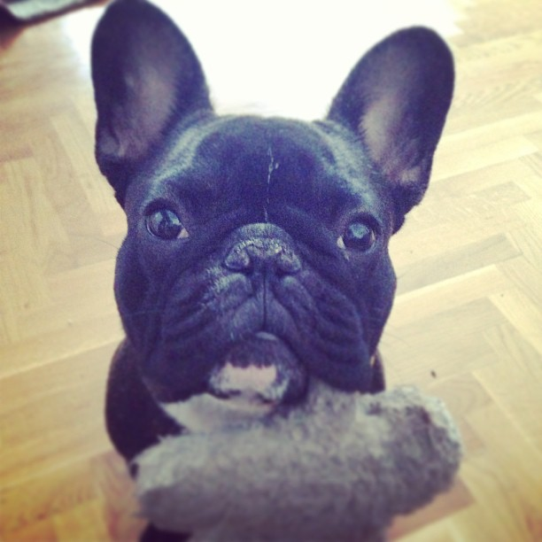 Pleeease... :) #frenchie #frenchbulldog
